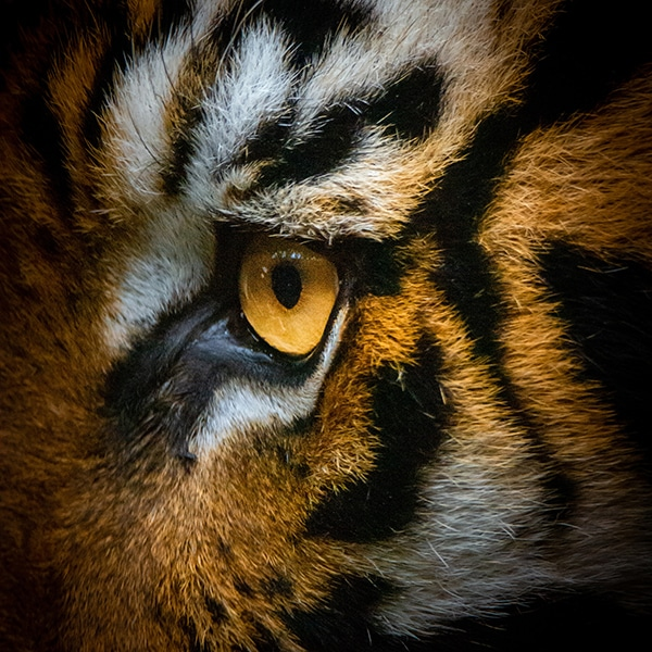 Close up of tigers face and eye